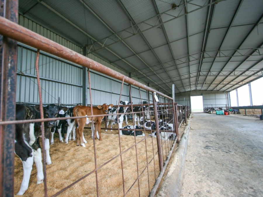 Calf Shed 13 Spanlift wtBWHO - Gallery